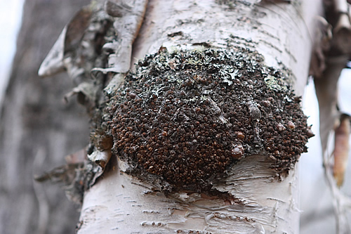 Chaga Mushroon on Birch Tree