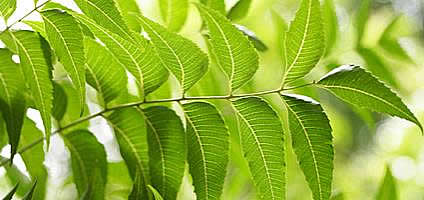 Neem Leaves  - from Detox Trading Superfoods