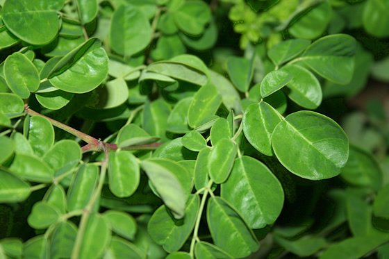 Moringa-green-leaves