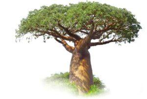 baobab-tree