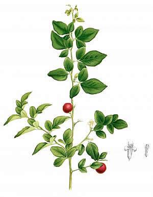 triphala plant
